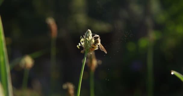 a természetben a méh beporzó egy virág, makró lassítva. varázslatos természet és a csodálatos állatok. a természet és a kapcsolat a világ fogalmát