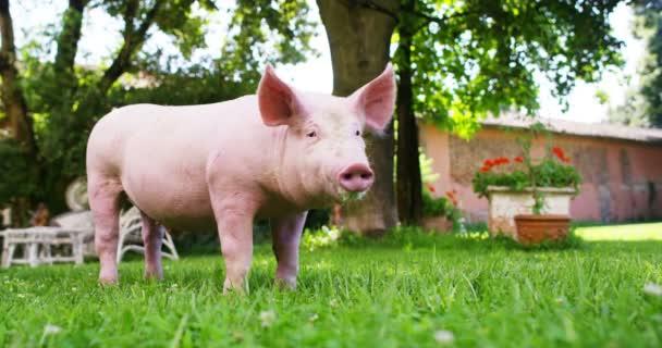 Štěně prase v zahradě hospodářství zemědělce, který přinesl v zdravý, organické, aby bylo silné a robustní růst s správné a přirozené potravy. pojetí lásky pro zvířata, bio, vegan, příroda.
