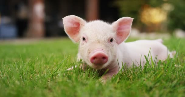 A puppy pig in a garden of a farm of a farmer brought in a healthy, organic, to make it strong and robust growth with a correct and natural food. concept of love for animals, bio, vegan, nature.