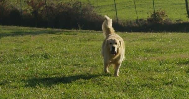 Gyönyörű golden retriever ül a fűben, játszik, és runningand csóválás fejé farok lassítva