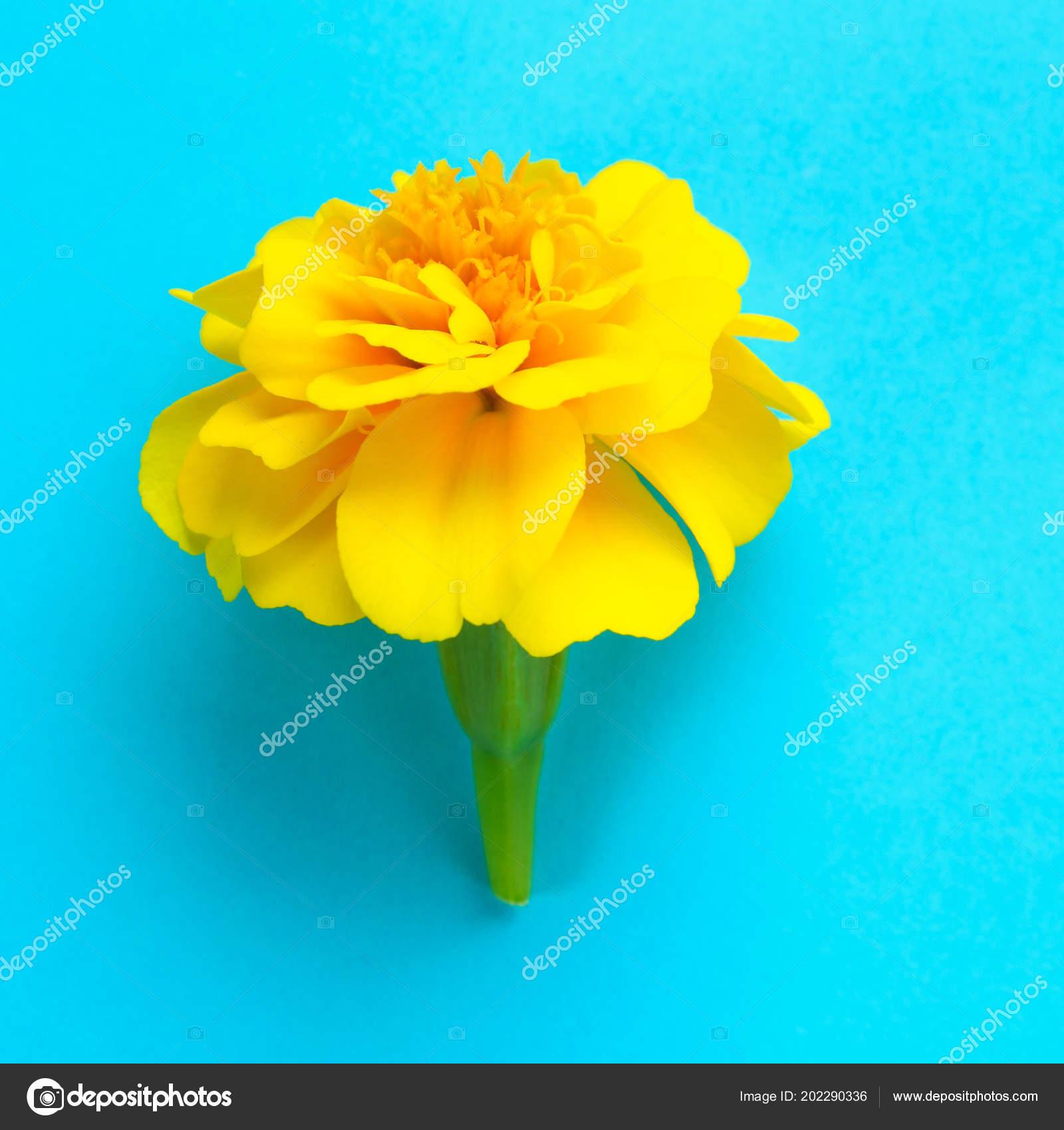 Yellow Flower Marigold Pastel Blue Background Stock Photo Detry