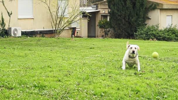 Superzeitlupe eines weißen Hundes, der einen Tennisball fängt