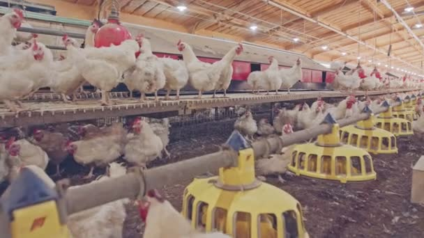 Large chicken farm with thousends of hens and roosters