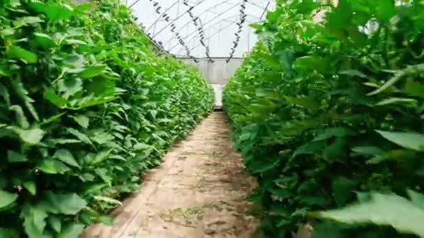Řádky rostlin rostoucí ve velkém skleníku