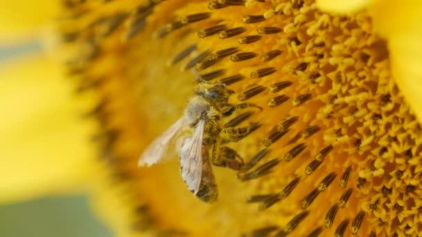 Biene sammelt Pollen an Sonnenblumen