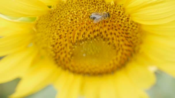 Bee pollen összegyűjti a napraforgó