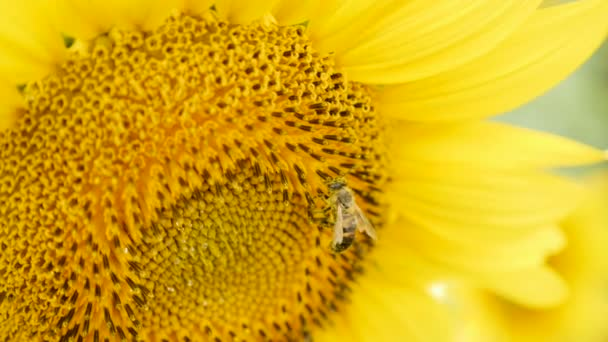 bee collects pollen on sunflower