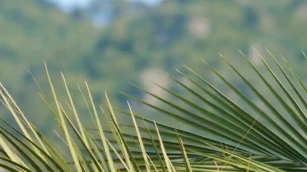 Marmaris'te palmiye büyük yaprakları