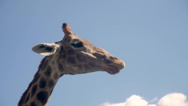 egy afrikai zsiráf feje egy állatkertben, amint kaját eszik.