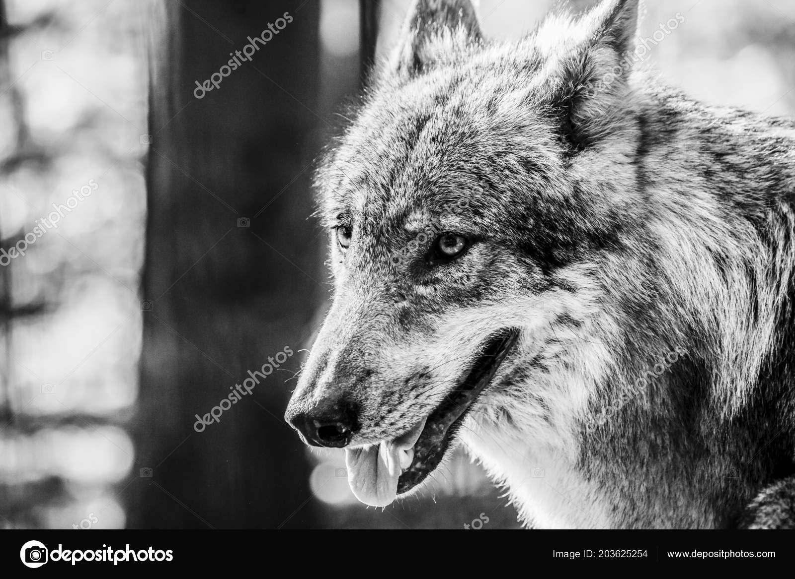 Black white portrait wolf stock photo huettenhoelscher 203625254