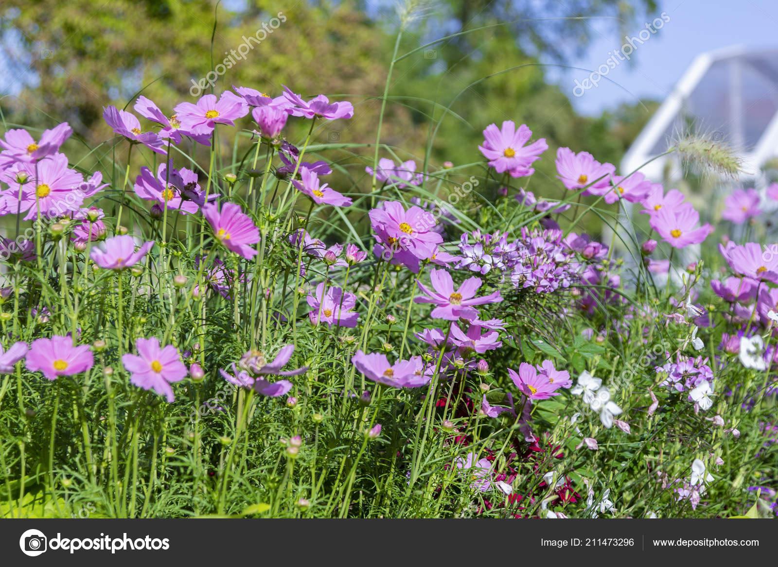 Fiore viola bianco giardino cosmo letto fiori u foto stock