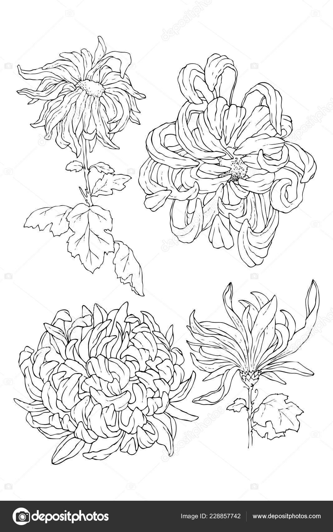 Dessin Au Trait Chrysantemum Pour Coloriage Livre Ou Un