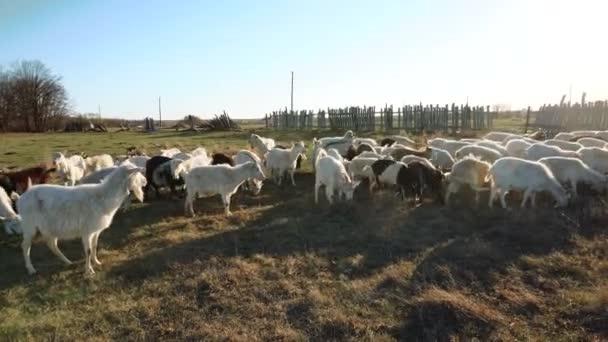 stádo koz na venkově, které se pojí a jedí trávu