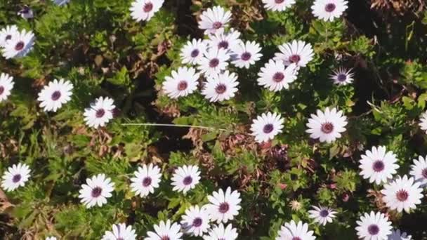 Letní pole s kopretin. Kvetoucí heřmánek v zelené oblasti v jarní louka