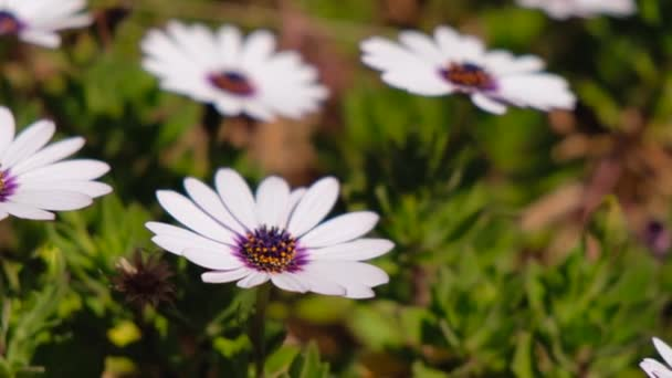 Close-up of white daisies waving on the wind. Blooming camomile in the green field in spring meadow.