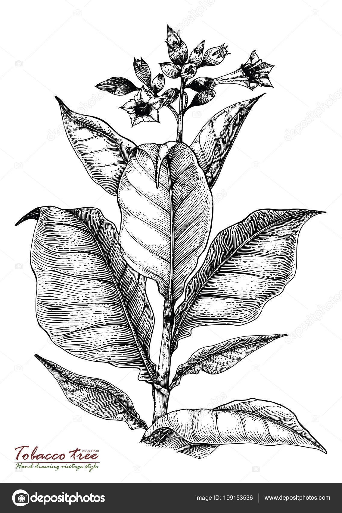 main arbre tabac dessin style vintage — photographie ohm3417.hotmail