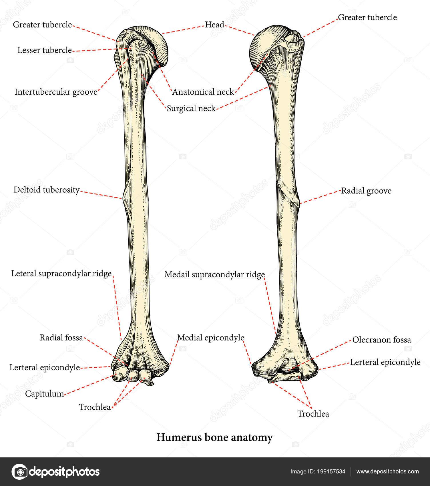 Anatomie Des Menschlichen Oberarm Knochen Hand Zeichnung Vintage ...