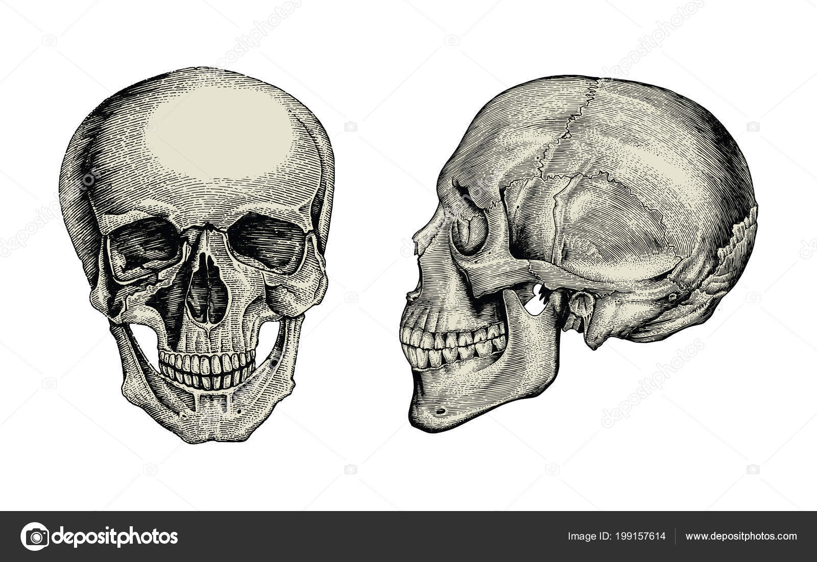 Anatomy Skull Hand Drawing Vintage Lateral Front View Human Skull ...