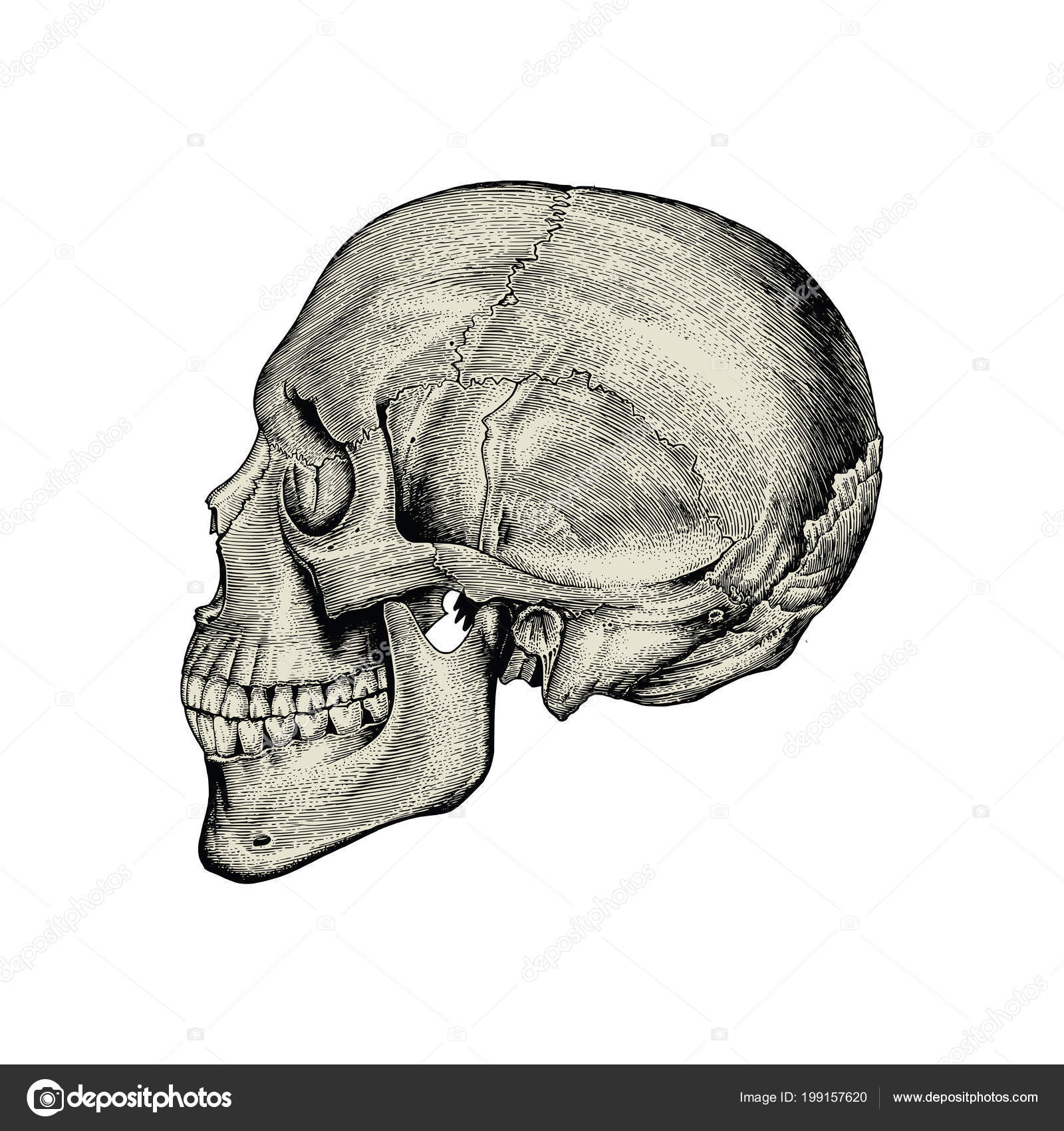Anatomy Skull Hand Drawing Vintage Lateral View Human Skull — Stock ...
