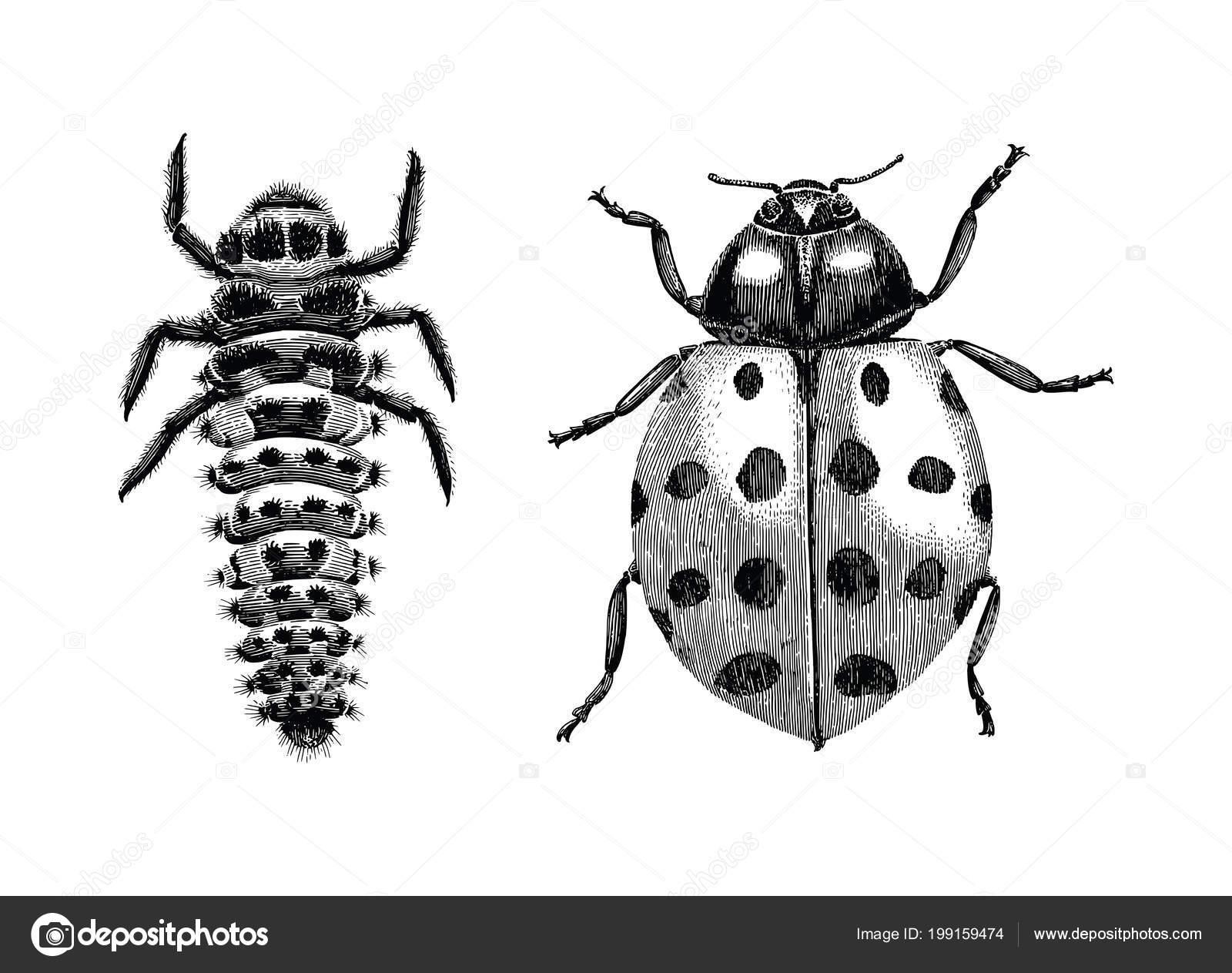 Foto Scarabeo Disegno Scarabeo Signora Asiatico Multicolore Larva
