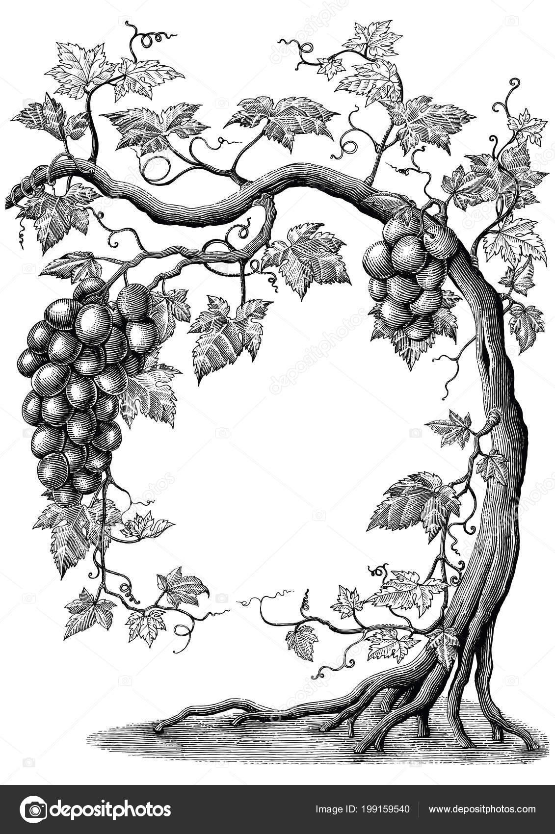 árbol Uva Mano Dibujo Vintage Grabado Ilustración Sobre Fondo Blanco