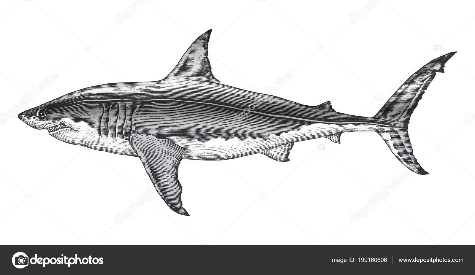 Gran Tiburón Blanco Dibujo Ilustración Vintage Grabado Mano — Foto ...