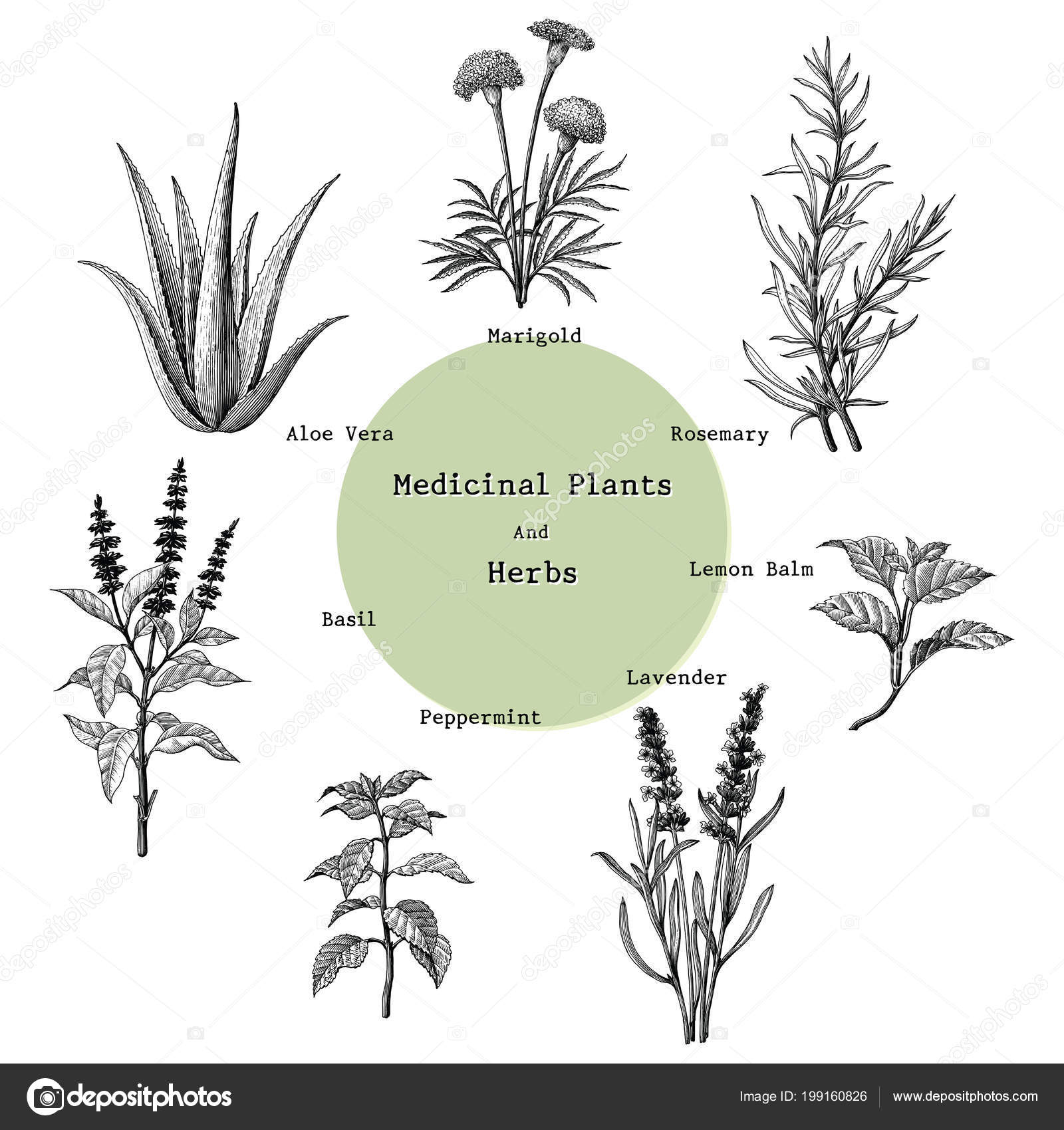 Medicinal Plants Herbs Hand Drawing Vintage Engraving Illustration