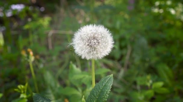Bílý, nadýchaný, osamělé Pampeliška houpat ve větru na pozadí zelené trávy. Zblízka. Pohled shora. Režim makro. 4 k. 25 snímků / s.
