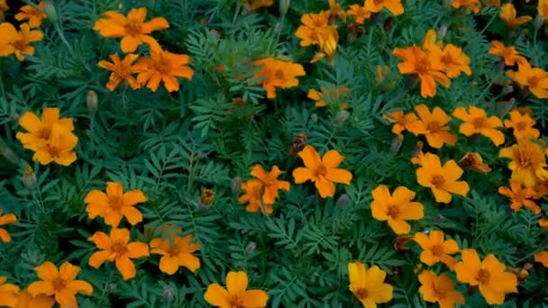 Orange flowers on a decorative urban flowerbed swaying in the wind on a background of green grass. Close up. The view from the top. Macro mode. 4K. 25 fps.