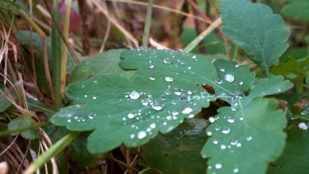 Detail Rosy kapky které spadají na zelený list v zahradě v časných ranních hodinách. Koncept. Malá hloubka ostrosti. 4 k. 25 snímků / s