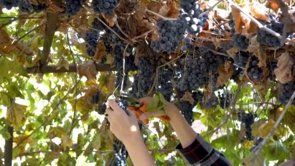 Nő kitárolási szőlő naplementekor. Ő darabok, egy csomó-ból szőlő kerti olló, a feje fölött. Alulról. 4 k 25 fps.