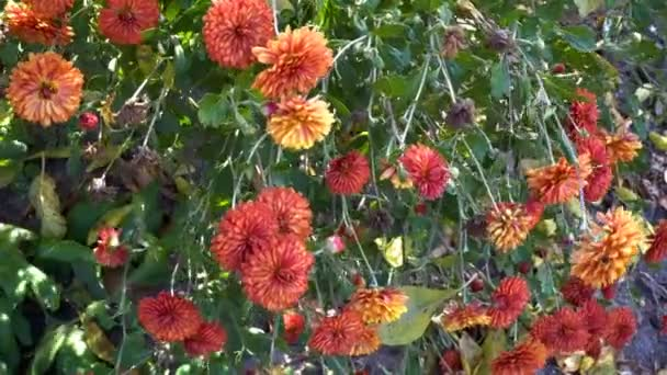 Orange flowers grow on the hanging branches of a Bush in the city flowerbed and sway in the wind. Close up. 4K. 25 fps.