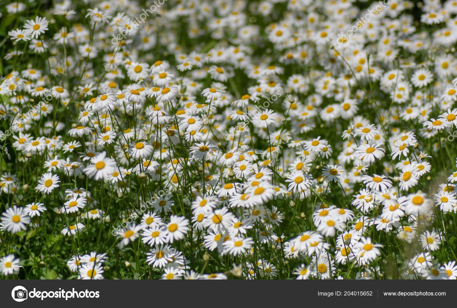 Eye daisies leucanthemum vulgare flower mass flowers family eye daisies leucanthemum vulgare flower mass flowers family asteraceae growing stock photo izmirmasajfo