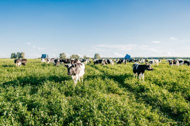 close up view of cows herd on field at pasture high in Carpathian mountains