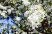 Kvetoucí třešeň na krásný slunečný den
