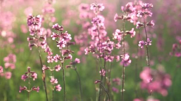 Pole růžové květy, detail