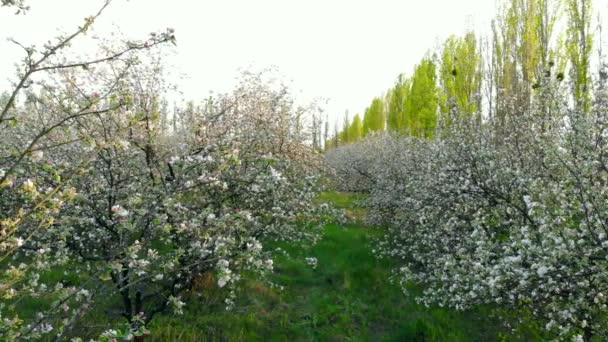 Flying between branches of flowering trees in apple orchard