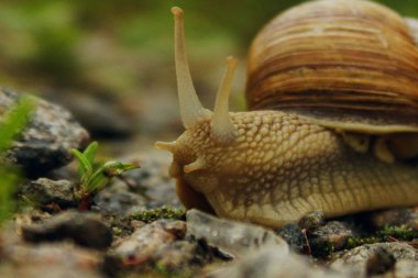 Snail On The Road. Animals, Nature Concept. Snail On The Road Over Green Grass Background.