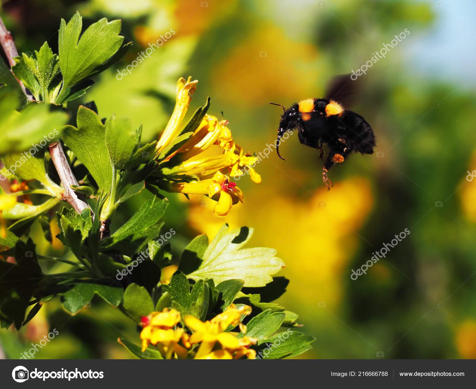 Hummel Gross Nach Der Gelben Blume Garten Fliegen Stockfoto