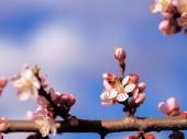 Meruňkový květ růžové jarní květiny