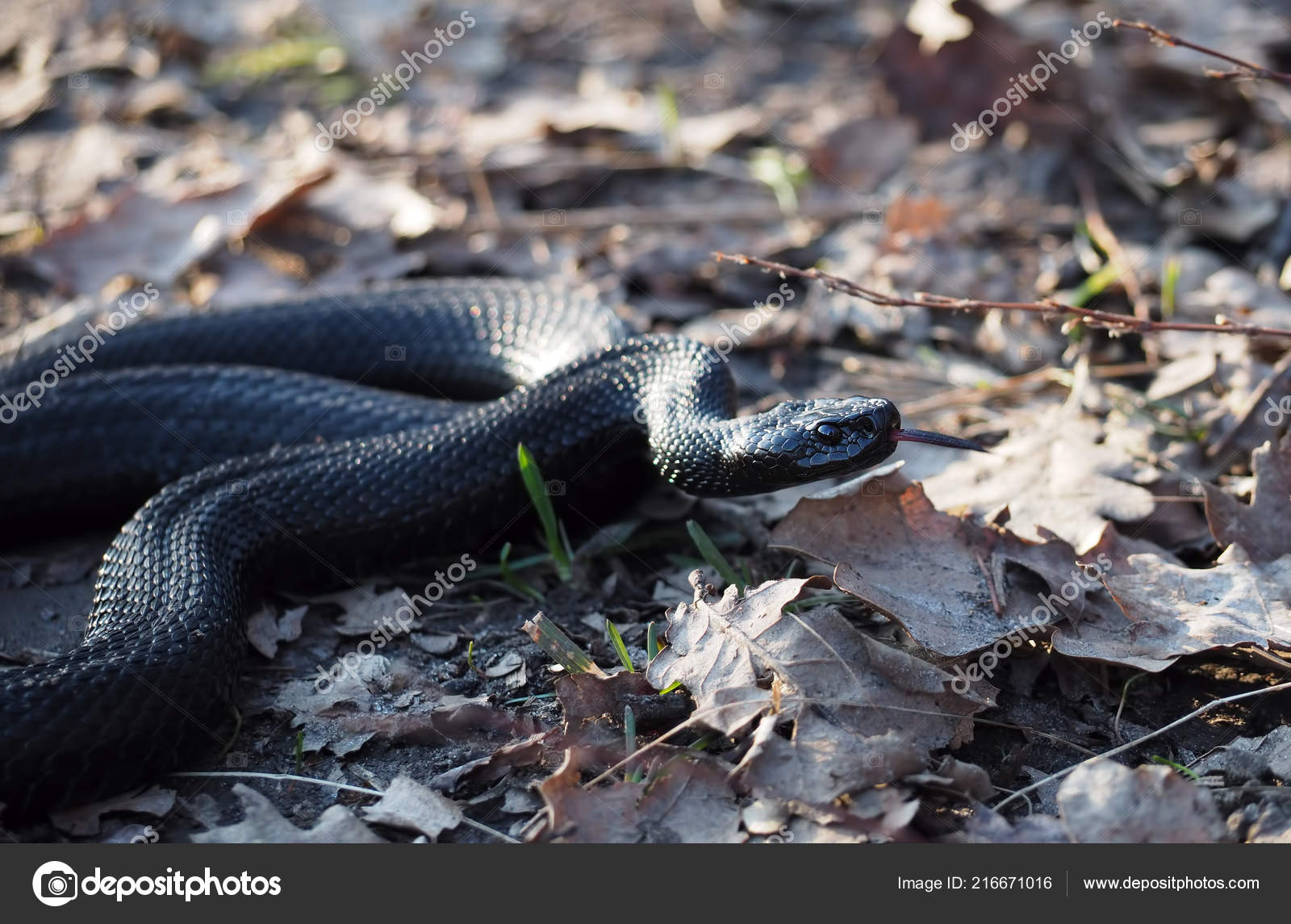 Black Snake Creeps Forest Autumn Leaves Shows Red Tongue Stock Photo C Mironenko S V 1990 Gmail Com 216671016