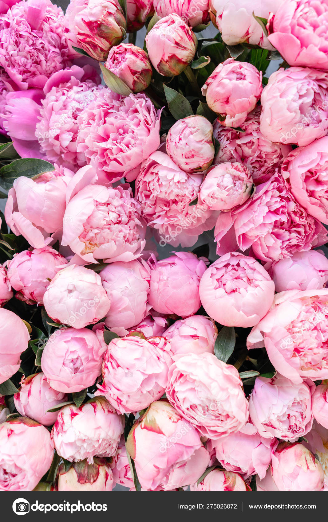 Floral Carpet Or Wallpaper Background Of Pink Peonies Morning Light In The Room Beautiful Peony Flower For Catalog Or Online Store Floral Shop And Delivery Concept Stock Photo C Malkovkosta 275026072