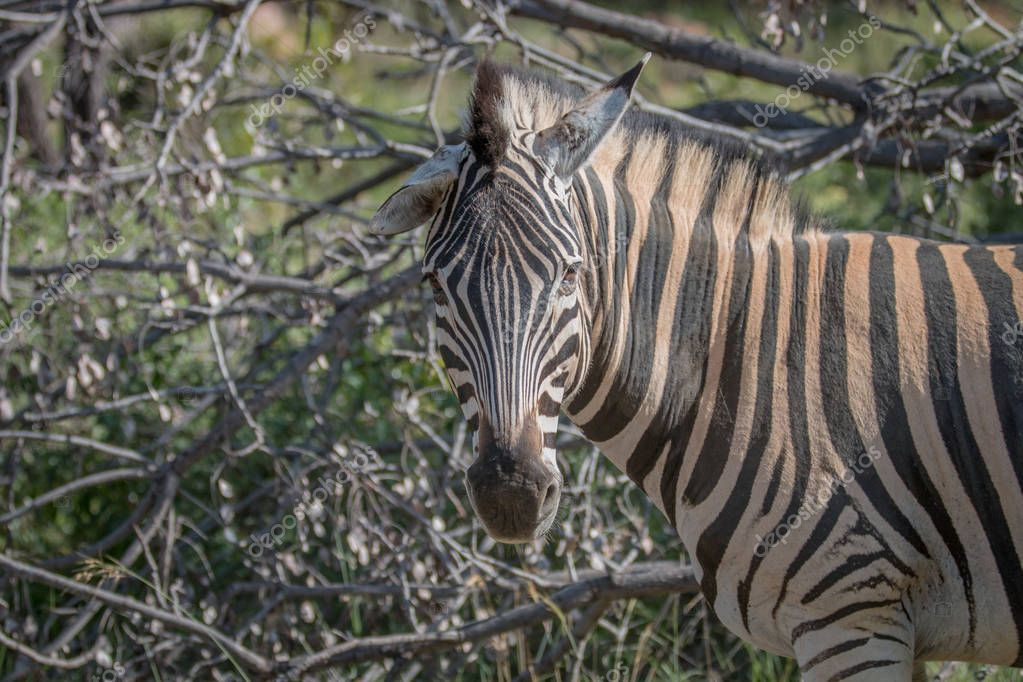 Zebra looking at the camera in Welgevonden.
