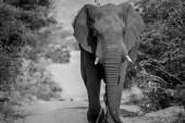 Velký slon býk chůzi na cestě.