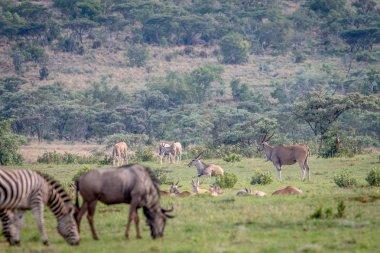 Zebras, Blue wildebeests, Elands on a grass plain.