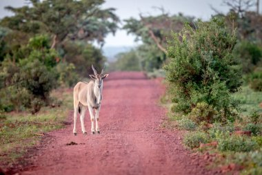 Eland standing in the road in Welgevonden.