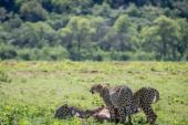 Ghepardi, nutrendosi di un Impala maschio uccidere
