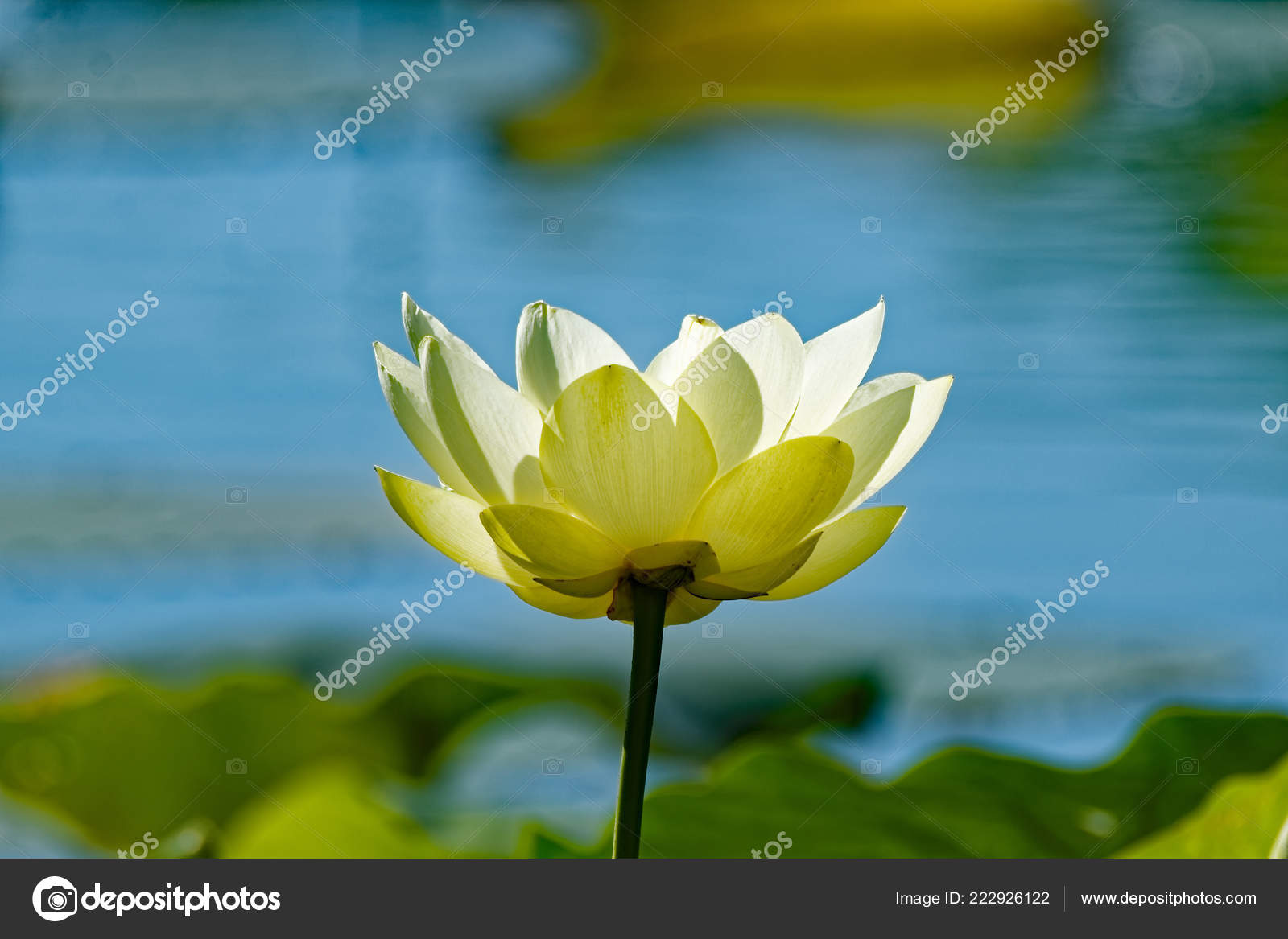 American Lotus Blossoms Lake Flowers Native America Can Found Covering– stock image