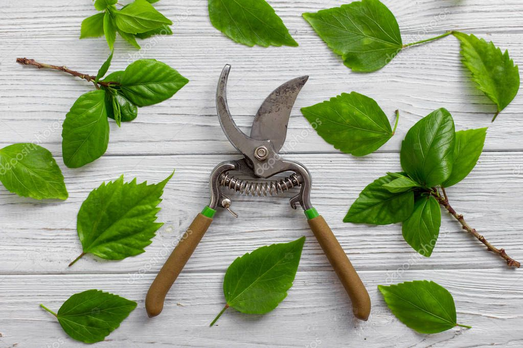 A garden pruner, branches and green leaves on a white rustic wooden background. Pruning plants in the garden. Gardening, creative concept. Top view.