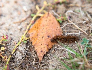 Caterpillar on orange autumn leaf